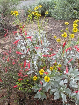 Brittle bush and chuparosa